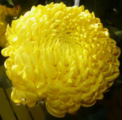 chrysantheme-jaune-008-bis.jpg